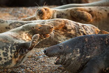 seals_norfolk