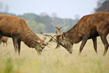 stags_holkham_norfolk